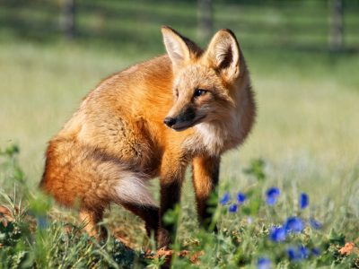 Wildlife: A Red Fox