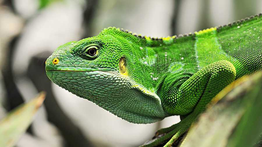 The Green Iguana, native to Central and South America.