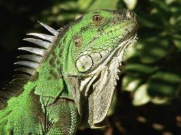 Iguana Questions? Call Whispering Pines Pet Clinic at 530-873-1136. Serving Chico, Paradise, Magalia, Oroville.