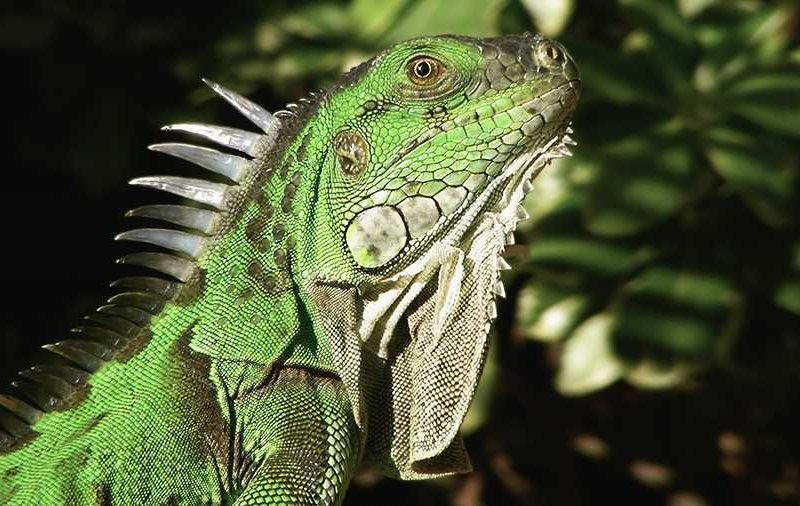 Green Iguanas: Care And Husbandry