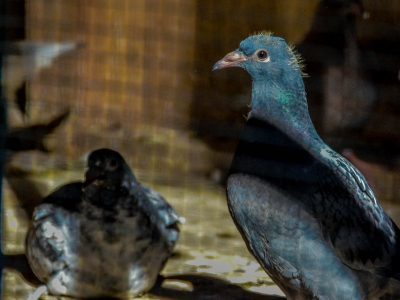 Whispering Pines Loft Pigeon Racing