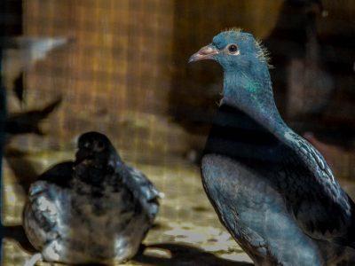 Whispering Pines Loft Pigeon Racing