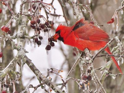 Foraging: A Cardinal Crunches A Frozen Crab Apple.