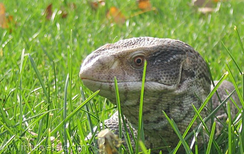 The Savannah Monitor: A Closer Look